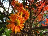 我が家庭の菊 7種