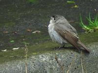 鳥 コサメビタキ