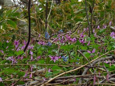 地球岬遊歩道 カタクリの花