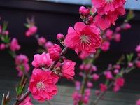 我が家の花 紅梅