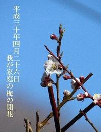 我が家 梅の花