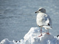 シロカモメ 第2回冬羽