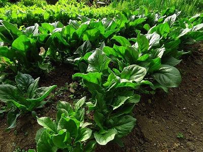 家庭菜園 ほうれん草