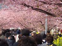 ぶらり河津桜