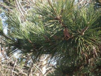 松の木 2