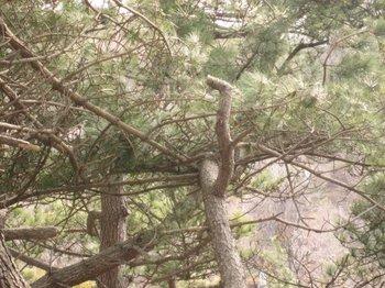 松の木 4