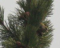 松の木 5