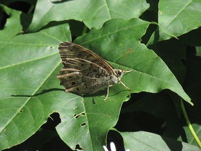 ヤマキマダラヒカゲチョウ