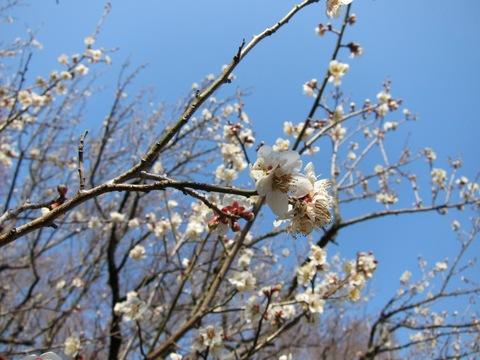 百草園で梅祭りとアイス