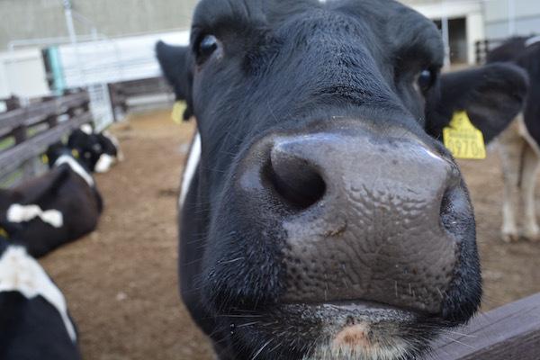 仔牛への哺乳体験に 萌える「ミルクの郷」