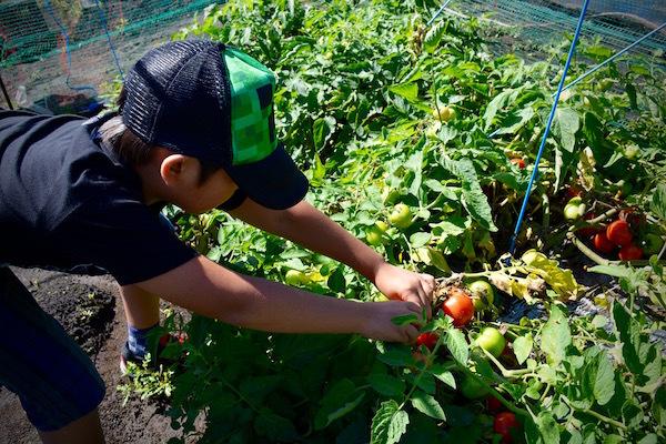 加工用トマトで作る 激ウマの手作りケチャップ体験 くるるの杜