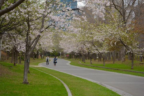 ほころぶ桜 もったいないほどの春 札幌市