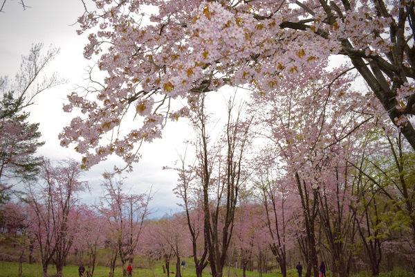 桜色に染まる丘 美唄市東明公園の春