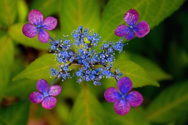 梅雨も近づく 艶やかな紫陽花を愛でつつ