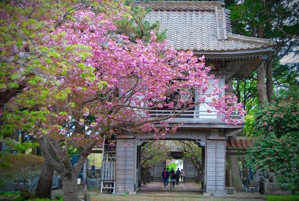 まだまだ間に合う!松前町の桜まつり