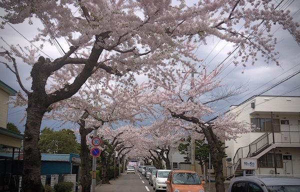 桜のトンネルをくぐり抜けて・・函館市人見町にて