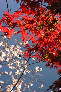 城峯公園冬桜と紅葉紀行(11/13)