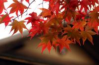 昭和記念公園紅葉(11/14)