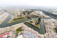 桜満開・五稜郭(14/05/03) 2014/05/14 06:12:38