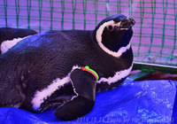 しながわ水族館から大井競馬場へ来たペンギン