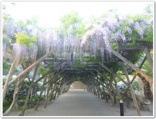 五稜郭と藤の花(6月8日)