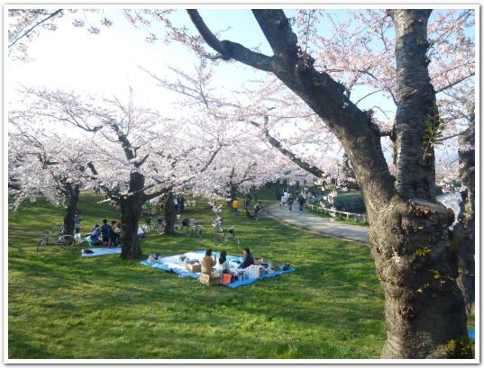 五稜郭の開花状況(5月5日)