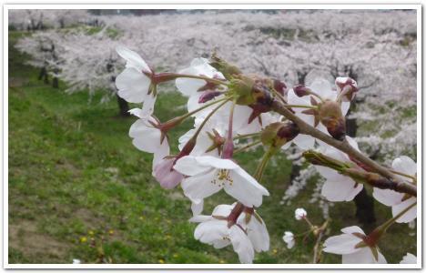 五稜郭の開花状況(5月7日)