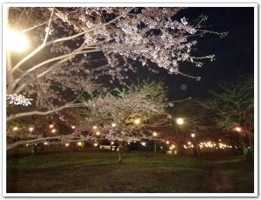 五稜郭の桜の開花状況(5月3日)