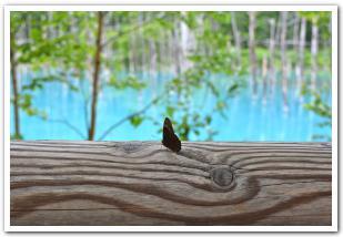 美瑛白金の「青い池」 立ち枯れた白樺