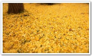 黄金色に輝くイチョウの果実と足の悪臭