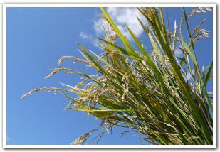 収穫体験だ!頭を垂れる黄金色の稲 【函館市】