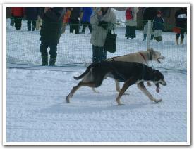 「JapanCap 全国犬ぞり 稚内大会」に行ったことがある