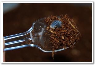 カブトムシの幼虫を里子に出したいけど・・【函館市】