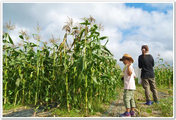 持て余すほどの大量のトウモロコシ!函館市亀尾ふれあいの里