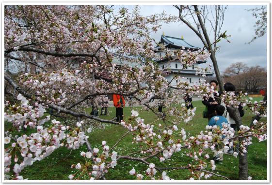 松前の桜の開花状況(5月3日)