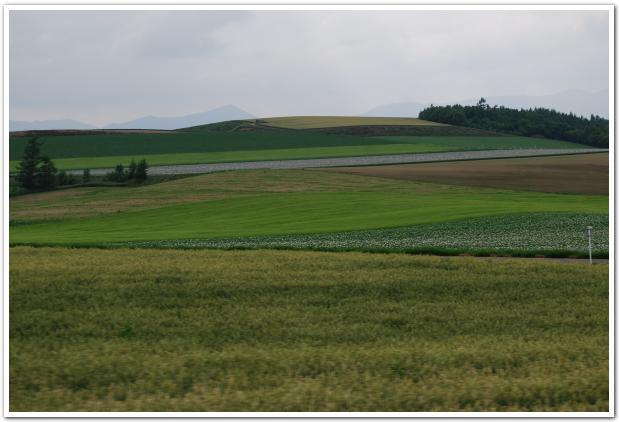 中富良野の大地に咲くラベンダーと徘徊する羊