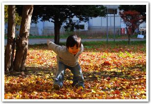 黄金色に輝くイチョウ並木 北海道大学構内