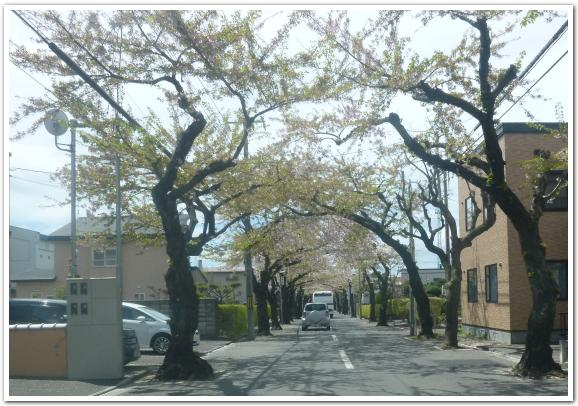函館市 桜が丘通の桜並木に行ってみた
