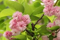 兼六園と菊桜・金沢散策(5/1)