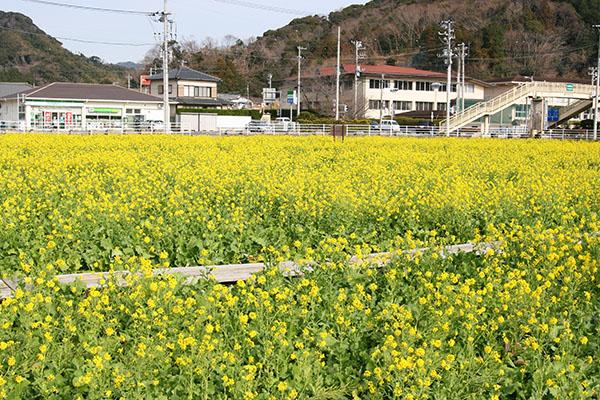 南伊豆・日野菜の花はもう見頃(1/20)