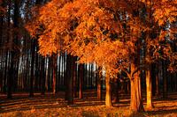 水元公園・メタセコイヤの紅葉(08/12/06) 2008/12/20 19:56:02
