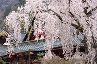 身延山・久遠寺しだれ桜はまだ見ごろ(09/03/28) 2009/03/29 12:02:57