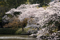 小石川後楽園は今が見ごろ(09/04/05) 2009/04/05 21:12:44