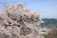 美の山公園の桜はまだ見ごろ(09/4/18)