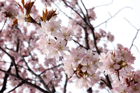 琴似発寒川で桜を見る
