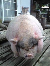 豚に乗った子猫
