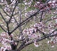 桜の開花宣言!
