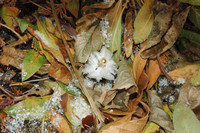 また咲いたこの冬二度目のシモバシラの氷花