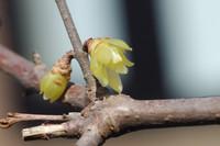 蝋梅が、久しぶりに咲いて呉れた