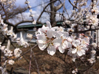 大雄寺さんの早咲き桜が満開です